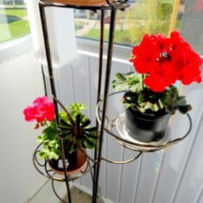 Настой герани: 20 г свежих цветков или листьев комнатной герани залить стаканом кипятка, настоять 7-8 часов.