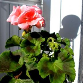 Вещество гераноил, которое выделяют листья герани убивают вирусы стафилококков и стрептококов.