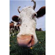 Девять коров, и ни одной коровой меньше(притча)