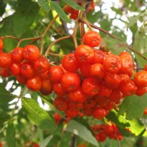 12 сентября — Свытник. По старому стилю 30 августа. По народным приметам, если в лесу много рябины то осень будет дождливая.
