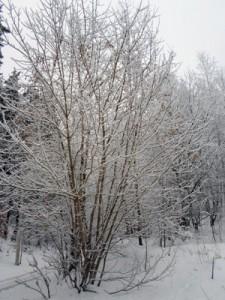 17 декабря - Варварин день. По старому стилю 4 декабря. По народным приметам, если на Варвару небо звёздное, то жди мороза, если тусклое и слепое, то жди тепла.