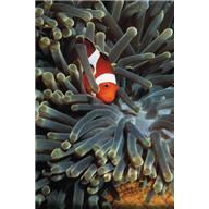 Морские водоросли против геморроя