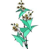 Гречиха посевная (Fagopyrum esculentum Moench), гречка, греча, гречуха, греческая пшеница.