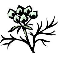 Кориадр посевной.С лечебной целью используются листья, цветы и семена.
