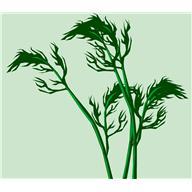 Укроп пахучий, или Укроп огородный (Anethum graveolens).