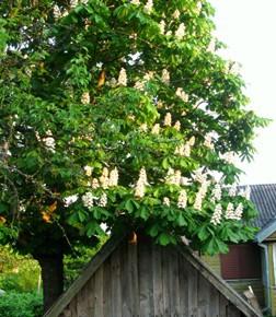 Каштан конский обыкновенный (Aesculus hippocastanum L.). Семейство Конскокаштановые – Hippocastanaceae.