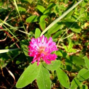 Клевер луговой, клевер красный (Trifolium pratence L). Семейство Бобовые Fabaceae.
