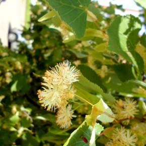 Липа сердцевидная, или Липа мелколистная (Tilla cordata Mill.). Семейство Мальвовые – Malvaceae.