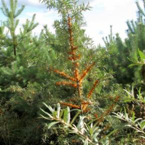 Облепиха крушиновидная (Hippophae rhamnoides L.). Семейство лоховых – Elaeagnaceae.
