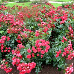 Роза французская