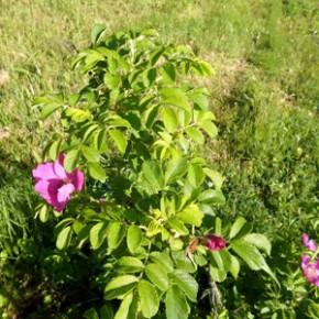 Шиповник коричневый (Rosa cinnamomea L.), шиповник майский, роза дикая, свороборина.