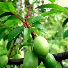 Слива домашняя (Prunus domestika L.). семейство Розовые -  Rosaceae.
