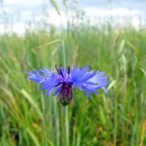 Василёк синий, или полевой (Centaurea cyanus L.).  Семейство Сложноцветные – Compositae.