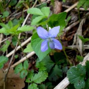 Фиалка душистая (Viola odorata L.); фиалка пахучая, маткина душка, конские копыта. Семейство фиалковых —Violaceae.