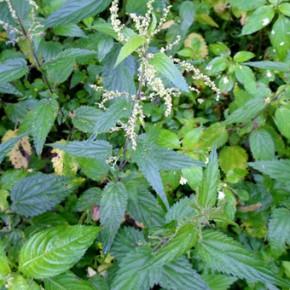 Крапива двудомная (Urtica dioica L.); жгучка, жалива, жигалка, крапива большая. Семейство Крапивные – Urticaceae.