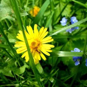 Одуванчик лекарственный (Taraxacum officinalis Web. S. L.); молочник, одуй-плешь, попова плешь, подойница, пуховка. Семейство Сложноцветные – Compositae.