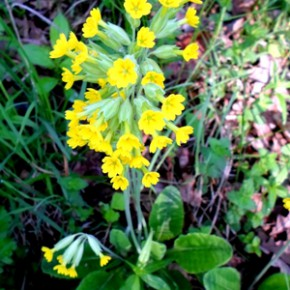 Первоцвет лекарственный (Primula officinalis L.); примула, барашки, буковица, ключики, цветы Святого Петра. Семейство Первоцветные - Primulaceae.