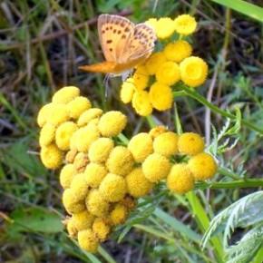 Пижма обыкновенная (Tanacetum vulgare I..); дикая рябинка, полевая рябинка, девятибрат, девятильник. Семейство сложноцветных – Compositae.