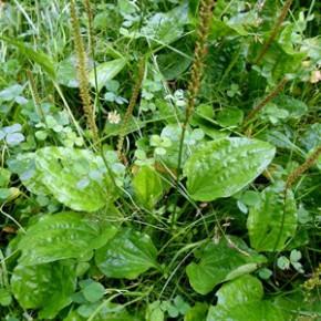 Подорожник большой (Plantago major L.); семмижильник, порезник, ранник, бабака. Семейство Подорожниковые - Plantaginaceae.