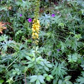 Репешок обыкновенный, или Репешок лекарственный (Agrimonia eupatoria); репяшок обыкновенный, репейничек обыкновенный. Семейство Розовые – Rosaceae.