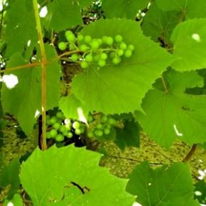 Виноград культурный (Vitis vinifera). Семейство Виноградные – Vitaceae.