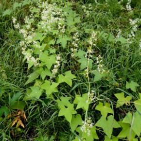 Хмель обыкновенный, или вьющийся (Humulus lupulus L.). Семейство Коноплёвые – Cannabaceae.