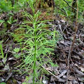 Хвощ полевой (Equisetum arvense L.); сосенка, пестовник, толкачник. Семейство Хвощевые - Equisetaceae.