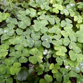 Кислица обыкновенная Oxalis acetosella L.); заячья капуста, кукушкин клевер. Семейство Кисличные – Oxalidaceae.