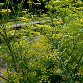 Любисток лекарственный (Levistikum officinale Koch.); дудочник, зоря лекарственная, любим-трава, любовное зелье, приворотное зелье. Семейство Зонтичные - Umbelliferae.