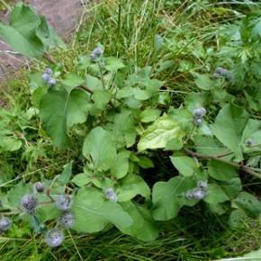 Лопух большой (Arktium lappa L.); репейник, репяшник, дедовник. Семейство Сложноцветные - Compositae.