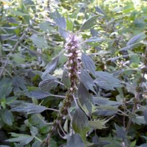 Пустырник пятилопастный (Leonarus quinquillobatus); пустырник волосистый, пустырник мохнатый. Семейство Яснотковые – Lamiaceae.