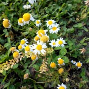 Ромашка аптечная (Matricaria chamomilla L.). Семейство Сложноцветные - Compositae.