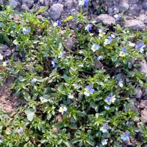 Фиалка трёхцветная (Viola tricolor L.); анютины глазки, иван-да-марья. Семейство фиалковые – Violaceae.