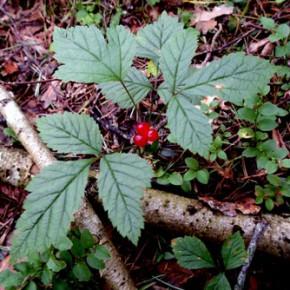 Костяника, Костяника каменистая ( Rubus saxatilis). Семейство Розовые (Rosoideae).