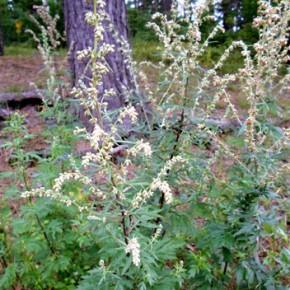 Полынь обыкновенная или чернобыльник (Artemisia vulgaris L.); забудок, забудька, быльник. Семейство Астровые – Asteraceae.