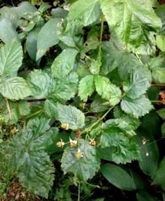 Ежевика сизая (Rubus caesis L.). Семейство Розовые - Rosaceae.