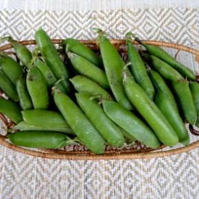 Горох посевной (Pisum sativum L.). Семейство Бобовые – Fabaceae.С лечебной целью применяются цветки, листья, стебли, семена растения.