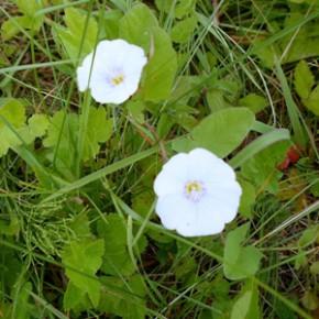 Вьюнок полевой (Convolvulus arvensis L.), или берёзка. Семейство Вьюнковые -  Convolvulaceae.