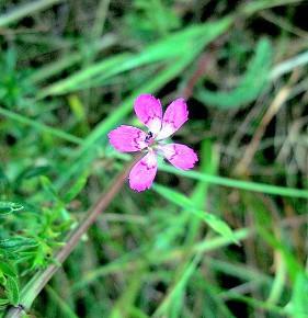 Гвоздика разноцветная (Dianthus versicolor Fisch); гвоздика полевая, или степная.Семейство гвоздичных – Caryophyllacene. С лечебной целью используют траву растения.