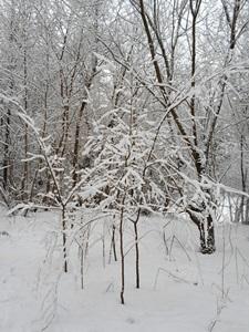9 декабря — Юрьев день. Егорий Зимний. Егорий-волчий заступник. По старому стилю 26 ноября. По народным приметам, если на Егория у жилья воет волк — к морозу.