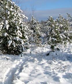 30 декабря - Данила и Ананий.По народным приметам,  если на Данилу ляжет иней, то Святки (с 7 по 19 января) будут тёплые.