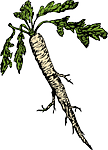 Целебные лекарства из хрена.Главное богатство корня хрена – витамины  А и С, натрий, соли калия, фосфор, железо, медь и марганец.