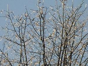 27 февраля - Кирилл-указник. По старому стилю 14 февраля. По народным приметам, хорошая погода на Кирилла-указника - к морозам. Об этом дне говорили: «Мороз хоть и скрепуч, но не жгуч».