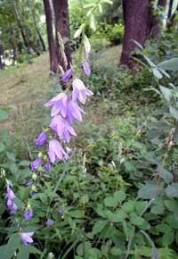 Колокольчик крапиволистный (Campanula trachelium), колокольчик большой, боровой, гусиное горлышко, горляная трава, примочная трава. Семейство Колокольчиковые - Campanulaceae. С лечебной целью используют траву и корни растения.