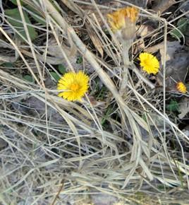 10 апреля – Степанов венок. Мать-и-мачеха. По старому стилю 28 марта. По народным приметам, цветок мать-и-мачехи теплит землю.