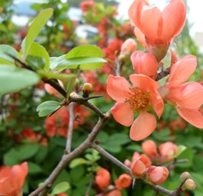 30 апреля – Зосима-пчельник. По старому стилю 17 апреля.По народным приметам, если пчёлы летят на цвет, то будет из цвета плод. Если пчёлы садятся на вишнёвый цвет, вишни уродятся. На какой хлеб пошла пчела, тот на зерно будет хорош.