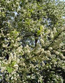 21 мая – Иван Богослов пшеничник, Арсеньев день. По старому стилю 8 мая. По  народным приметам, если день с дождями, то гриб пойдёт полками.