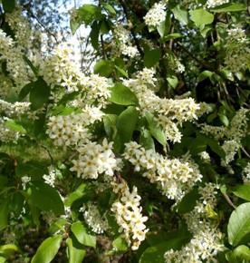 Черёмуха обыкновенная (Radus racemosa Gilib.) Семейство Розовые - Rosaceae.С лечебной целью используют цветки, плоды (ягоды), кору и листья.