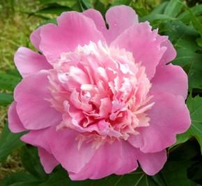 5 июня – Леонтий-конопляник. Роман-чудотворец. По старому стилю 23 мая. По народной примете, если в эту пору много оводов -  будет урожай на огурцы.