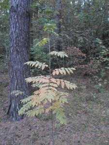 23 сентября — именины Рябины. По старому стилю 10 сентября. По народным приметам, если мало рябины, то осень будет сухая, если рябины много, то будет суровая зима.